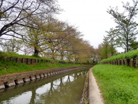 2015年4月16日 新河岸川の桜並木