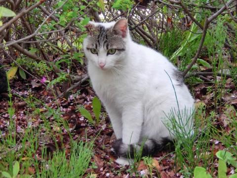 2015年4月16日 伊佐沼の野良猫