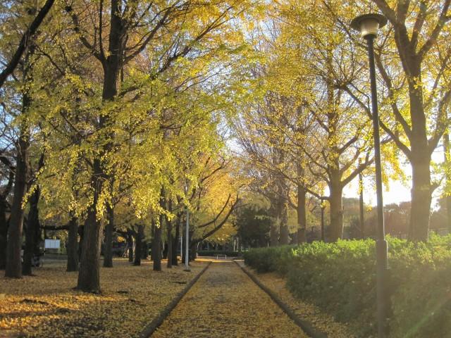 東京都板橋区「赤塚公園」の紅葉といちょう並木④