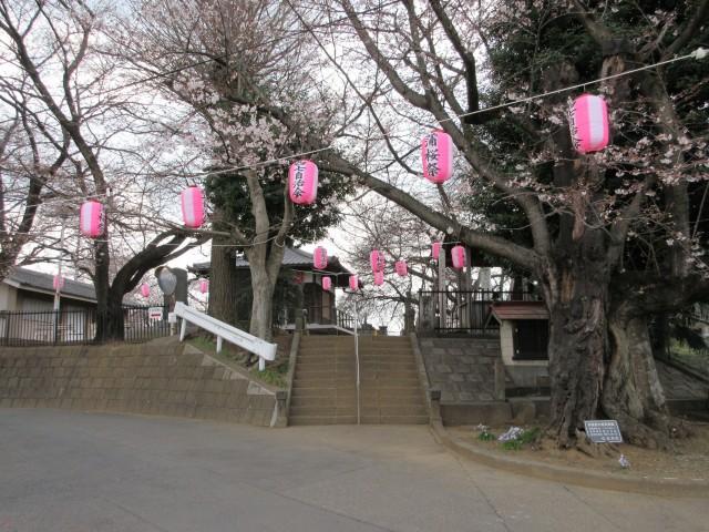 北本にある日本五大桜「石戸蒲ザクラ」②
