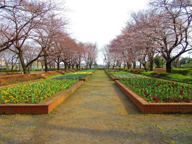 桶川にある桜の名所「城山公園」②