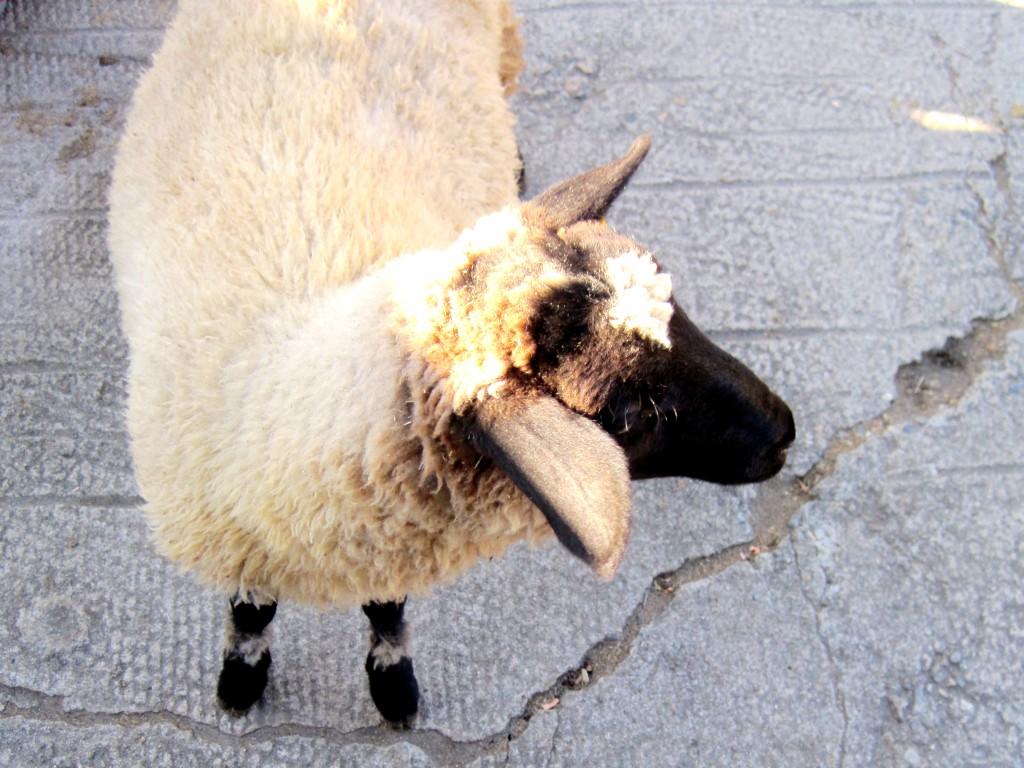 日本人には効果なし!眠れないときに羊を数えても意味がない理由は?