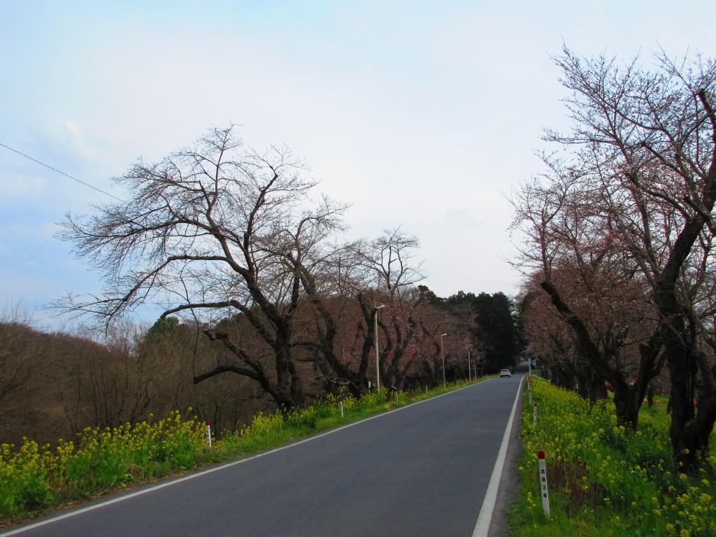 お花見スポット!北本の桜の名所「城ヶ谷堤」ってどんなところ?