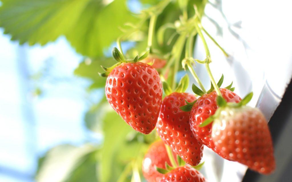 むくみ、美肌、腸にいいフルーツは?ビタミンCは風邪予防に効果あり!